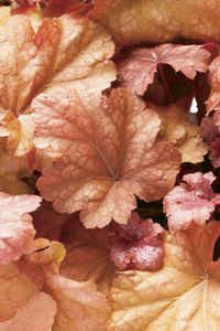 Heuchera 'Peach Melba'