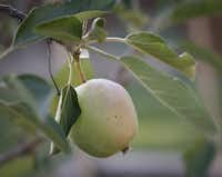 Kristen Shear and her husband Mark Shear have an apple tree in their small back yard garden in Richardson.