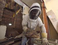 Bee expert Richard Siegrist carefully placed pieces of a hive of into a box for safe transportation on Sunday morning. The hive, which was in a shed behind a Pleasant Grove home, was estimated to hold at least 200,000 bees.(Photos by Ben Torres - Special Contributor)