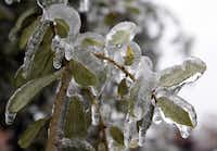 Leaves were coated with ice on a tree in Plano. Trees with a lot of foliage were defenseless against the weight of the storm.