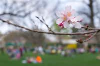 A cherry blossom was on display during Hanami: Cherry Blossom Viewing, offered by the Japan-America Society at the Dallas Arboretum on Sunday. The trees are blooming this week.