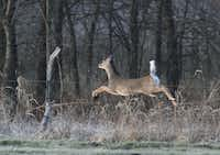 A doe makes an early morning dash through tall grass on Glenn McClain's property in southeast Collin County.