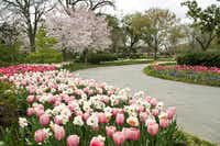 Hanami, or cherry blossom viewing, will be from 12:30 to 2:30 p.m. Sunday at the Dallas Arboretum's Pecan Grove.(Dallas Arboretum - Digital File_UPLOAD)