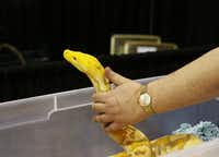 Jason Pahl monitored his 13-foot purple albino reticulated python at Sunday's reptile breeders show in Arlington.