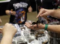 Reggie Leuty displayed a tarantula at his booth at the reptile breeders show.