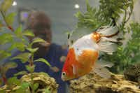 "An aquarium brings tranquillity  to Bob Helm's Oak Cliff apartment, where he takes about 40 pills a day. ""I feel well,"" he said, despite being blind and diabetic as a result of AIDS complications. ""Fifteen years ago, people were dying right and left, but because of the medication, HIV has become almost a chronic disease."""