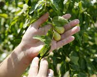 The jujube  is one of the most underutilized fruit trees for North Texas, says horticulturalist Daniel Cunningham.(File Photo/Andy Jacobsohn - Staff Photographer)