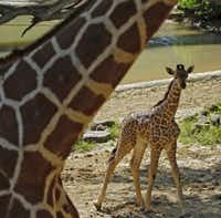 Kipenzi the baby giraffe is unveiled for the public at the Giants of the Savannah exhibit at the Dallas Zoo May 1, 2015. (Nathan Hunsinger/The Dallas Morning News)