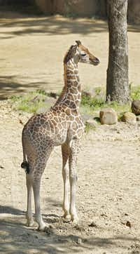 Kipenzi was presented to the world on May 1 at the Giants of the Savanna exhibit at the Dallas Zoo. She died in an accident Tuesday while playing with her half-brother.( Nathan Hunsinger  -  Staff Photographer )