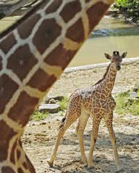 Kipenzi made her public debut at the Dallas Zoo on May 1.(Nathan Hunsinger - Staff Photographer)