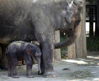 Rasha, a 40-year-old Asian elephant, and her 5 day old unnamed calf were viewed by the general public for the first time on July 11, 2013, at the Fort Worth Zoo. Fort Worth Zoo officials announced the birth of a 330-pound, 38-inch tall female Asian elephant calf, born at 3:34 a.m. on July 7, 2013. It is the second elephant calf birth in the Fort Worth ZooÕs 104-year history. Rasha gave birth to her second calf after a 22-month gestation period.