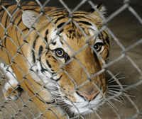 Smuggler, a Bengal tiger, was not among the big cats that died last week at In-Sync Exotics Wildlife Rescue and Education Center in Wylie.