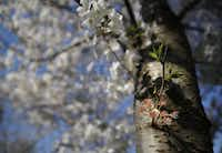 A new shoot  appears on a Yoshino cherry tree at the Dallas Arboretum, March 24, 2015.(Tom Fox - Staff Photographer)