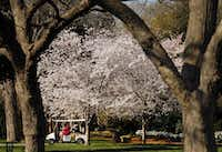 Cherry blossoms at the Dallas Arboretum, March 24, 2015.(Tom Fox - Staff Photographer)