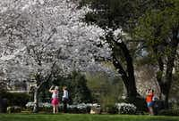 An array of pink and white cherry blossoms are bursting open, announcing their springtime arrival at the Dallas Arboretum and Botanical Gardens. It was a beautiful day Tuesday to see the blossoms.(Tom Fox - Staff Photographer)