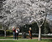 With an array of pink and white cherry blossoms in full bloom, visitors take photos at the Dallas Arboretum, March 24, 2015.(Tom Fox - Staff Photographer)