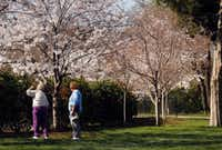 Beverly Williams (left) checks to see if there is a fragrance to the pink and white cherry blossoms. (Not much.)(Tom Fox - Staff Photographer)