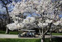 A tour cart passes by an array of pink and white cherry blossoms at the Dallas Arboretum, March 24, 2015.(Tom Fox - Staff Photographer)