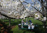The Krajca family of Dallas enjoys a picnic below an array of pink and white cherry blossoms at the Dallas Arboretum, March 24, 2015.(Tom Fox - Staff Photographer)