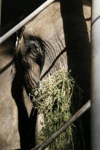 Staffers feed Mama a special diet enriched with high-protein, high-calorie grains and hay to make sure her weight doesn't dip below 7,000 pounds.(Kye R. Lee - Staff Photographer)
