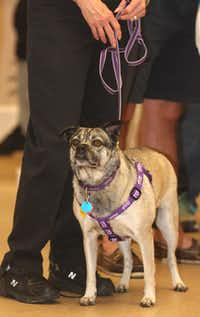 "The dog of the day was Hope, a pug mix who was near death when she was found a year ago. Now living with human friend Kit Moncrief and her husband, Hope is healthy and playful. ""We saved her once, but she saved us hundreds of times over,"" Moncrief said."