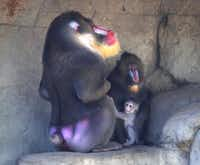 A baby mandrill monkey sits with his mother and father at the Dallas Zoo.KELLEY CHINN - Special Contributor