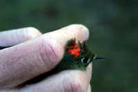 The male ruby-crowned kinglet flashes red to signal agitation. The tiny bird winters in North Texas.
