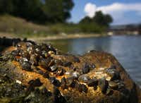 Small dime-sized Zebra Mussels are seen on an overturned rock at Lake Texoma, Saturday July 21, 2012. With warning signs and reminders about the spread of zebra mussels on Lake Texoma, boaters are to abide by the rules of pulling the plug on their boats, dumping water and cleaning down their boats when exiting the water at public boat ramps. It was reported this week that the invasive and destructive zebra mussel has been found in Lake Ray Roberts, the second lake following Lake Texoma. (Tom Fox/The Dallas Morning News)(Tom Fox - Staff Photographer)
