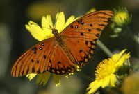 If you want to host Gulf fritillary butterflies, grow passion vine. The females lay eggs on its leaves.File Photo - Staff