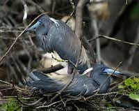Nesting tricolored herons are some of the birds students in the master birder class might see on a field trip.Staff Photo  - 104261