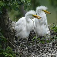 Master birder instruction includes a field trip to High Island on the Texas coast. Great American egret chicks hatch here.Staff Photo  - 104261