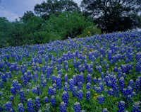 Rivers of bluebonnets delight viewers north of Fredericksburg in April.