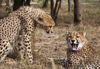One of the HESCs core activities, cheetah conservation includes the release and establishment of captive-bred cheetahs back into the wild.