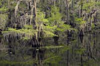 Cypress branches festooned with moss are reflected in the dark waters of Caddo Lake.