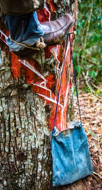 Sap drips into a leather bag tacked to the bottom of a tree trunk. Natural chewing gum is made from the sap of the chico zapote, trees, which grow near Tulum in Mexico's Yucatan.