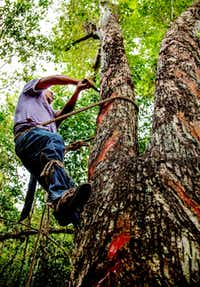 Valentine Caamal harvests sap from a chewing gum tree by slashing V-shaped channels into the trunk then collecting the sap in small leather bags. Natural chewing gum is made from the sap of the chico zapote, trees, which grow near Tulum in Mexico's Yucatan.