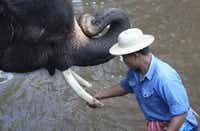 During bath time, the elephant's tusks get a polish thanks to a handful of mud at the Maesa Elephant Camp in Chang Mai, Thailand on Jan. 21, 2013.
