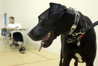 Noble, a Great Dane, was one of the shelter dogs in the P.R.E.P. program.