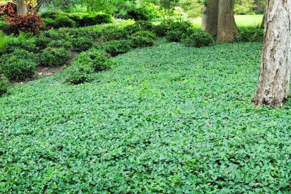 Toyota Of Rockwall >> Week 5 with Neil Sperry: Look for dependable ground cover varieties   Rockwall   Dallas News