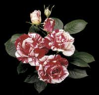 'Scentimental' rose, introduced in 1997, is a variegated red and white floribunda that earned AARS ranking from the American Rose Society.