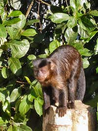 Tufted capuchin sightings are common in Tijuca National Park.( Colin Barraclough  -  Special Contributor )