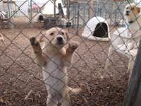 Flurry fights for attention in the outdoor dog run at the Second Chance SPCA facility in Plano. The organization's staff hopes to have a new building soon that will provide the same kind of space they have now.