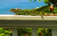 Iguanas are as common on St. John as squirrels in the mainland US. If you rent a villa, don't be surprised to find one sunning itself beside your pool.
