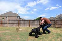 Butler, a Frisco police officer and dog trainer, trains Gracie, a giant schnauzer, at his Frisco . Butler and his wife, Christine Butler, have trained pet dogs for almost 10 years. (Rose Baca/The Dallas Morning News)
