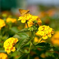 Skipper on the New Gold lantanas, introduced into the nursery trade 35 years ago, is well suited to massed plantings.( Photo submitted by NEIL SPERRY )