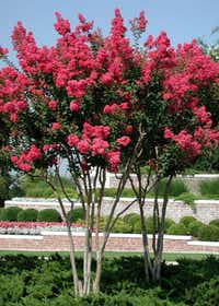 Young Tuscarora crape myrtles highlight the entry to a neighborhood.