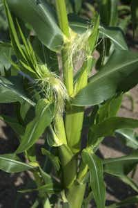 Neil Sperry recommends planting sweet corn varieties, but only if you have a large garden space for them to grow in.( Photo submitted by NEIL SPERRY )