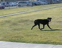 A stray dog ran from Dallas Animal Services in August 2015. (File Photo)