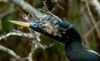 Florida is a bargain right now compared to other parts of the country. Your beach vacation can also include a trip to the Everglades. This is an American Anhinga in full plumage at Shark Valley in Everglades National Park.