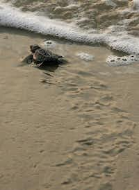 The Kemp's Ridley seat turtle releases are unforgettable on Padre Island.